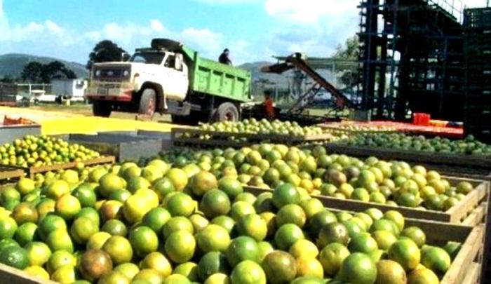 Cítricos escasean en Venezuela